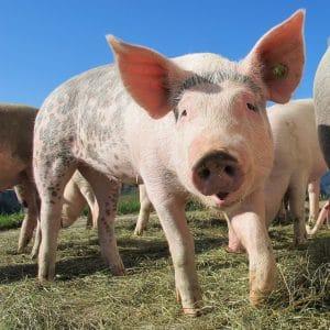 Qual o significado do porco no sonho