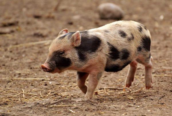 Sonhar com carne de porco