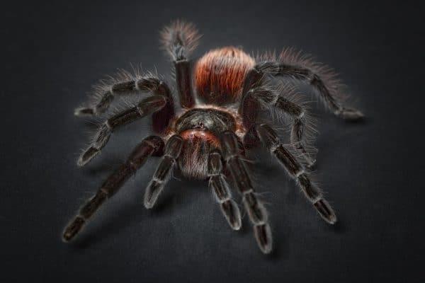 Sonhar com aranha caranguejeira