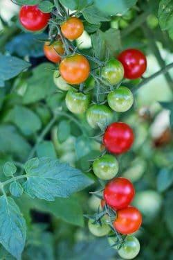 tomate cherry verde