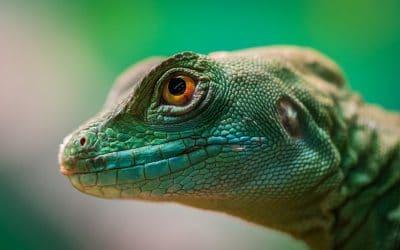 O que significa sonhar com lagarto