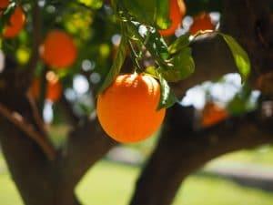 Sonhar com pé de laranja