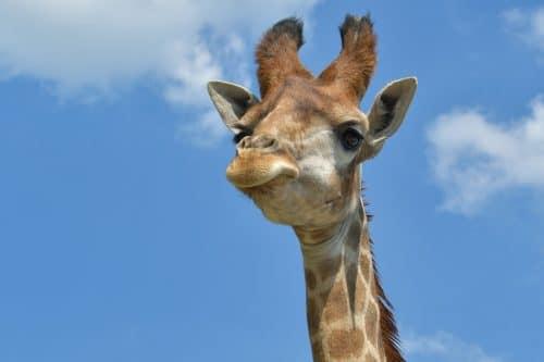O que significa sonhar com girafa