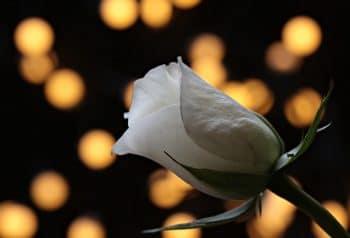 Banho de rosa branca para abrir caminhos no amor