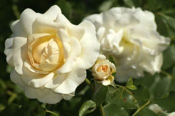 Banho de rosas brancas para abrir caminhos financeiros