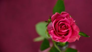 Banho de rosas vermelhas