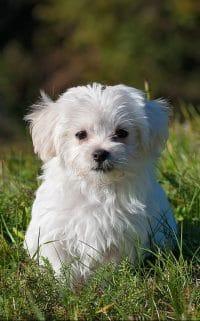 filhote de cachorro branco