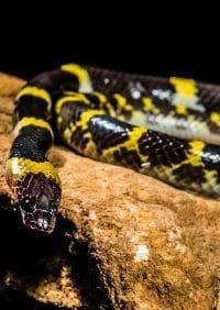 cobra preta e amarela
