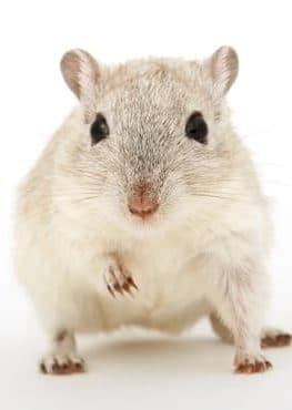 rato branco morto