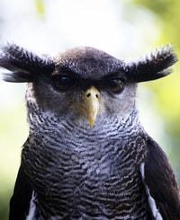 coruja preta