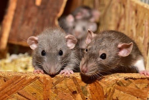 O rato estava vivo?