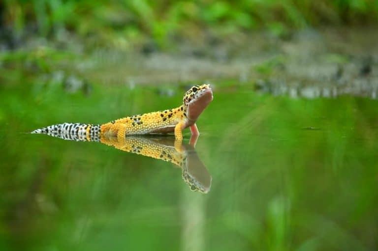 Sonhar com lagartixa