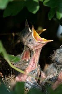 filhote de passarinho