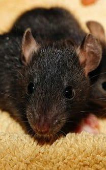 rato preto morto