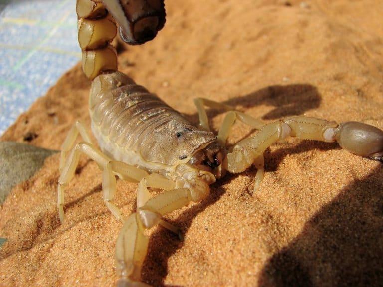 Sonhar com escorpião amarelo