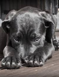 cachorro preto doente