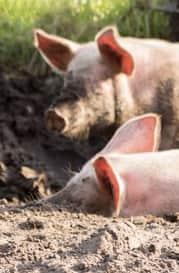 Porcos na lama