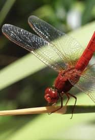 inseto voador