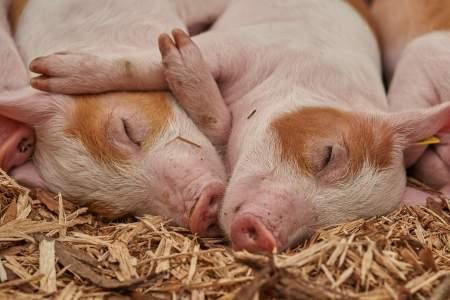 O que significa sonhar com porco