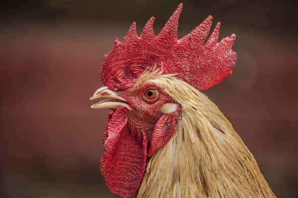 Sonhar com galinha morta