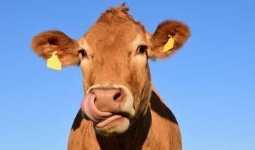 Sonhar com vaca no Jogo do Bicho