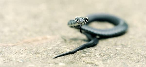 Cobra atacando