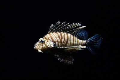 Peixes pretos