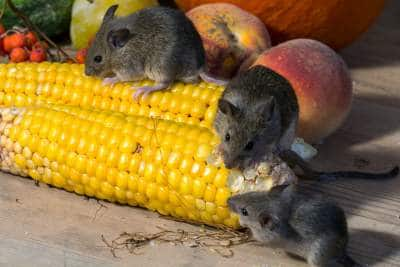 ratos pretos indicam azar