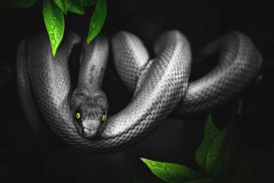 cobras cinzentas