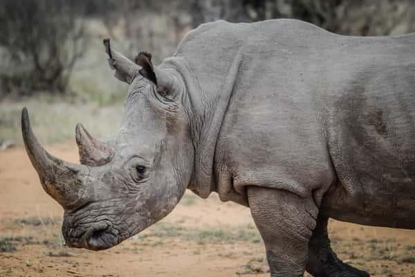 Sonhar com rinoceronte