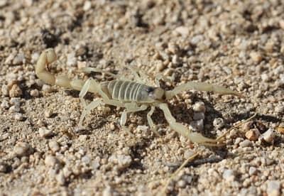 Escorpião branco