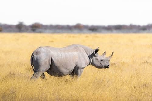 Rinoceronte correndo