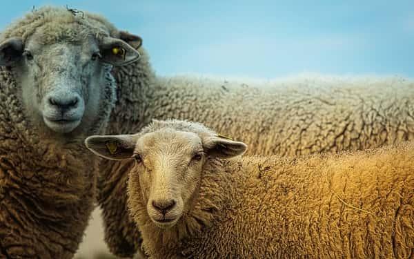Sonhar com Ovelha: Branca, Preta, Morta & Rebanho de Ovelhas