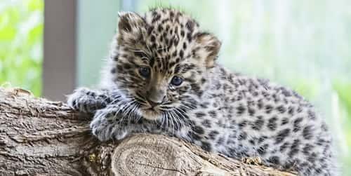 Filhote de jaguatirica