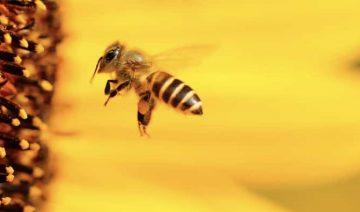 Sonhar com abelha no Jogo do Bicho